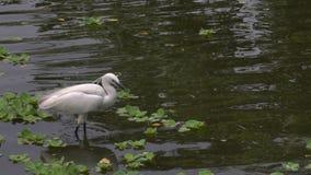 Egretta Garzetta för vuxen fågel för ultrarapid vit i dammet som söker filialer arkivfilmer