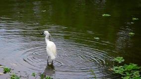 Egretta Garzetta för vuxen fågel för ultrarapid vit i dammet som söker filialer lager videofilmer