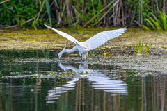 Egretta garzetta fishing, in Danube Delta, Ornithology Stock Images