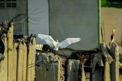 Egretta garzetta in nature is flying stock image