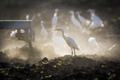 Egretta garzetta trying to find food royalty free stock photo
