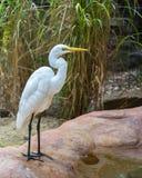 Egretta intermedia, parco della fauna selvatica di Featherdale, NSW, Australia immagini stock libere da diritti