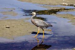 Egretta  novaehollandiae, White-faced heron,South Island New Zealand Royalty Free Stock Image