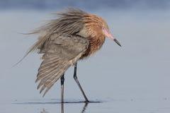 Egretta rossastra che estende un'ala - Florida Immagini Stock