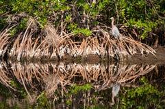 Egretta rossastra che si siede nelle radici dell'albero di Cypress Fotografie Stock