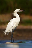 Egretta rossastra, rufescens dell'egretta, airone raro, forma bianca Uccello nell'acqua con la prima luce del sole di mattina Air fotografie stock