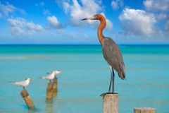 Egretta rufescens or Reddish Egret heron bird. In Caribbean sea stock photography