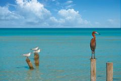 Egretta rufescens or Reddish Egret heron bird. In Caribbean sea stock photos