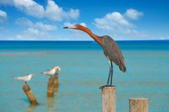 Egretta rufescens or Reddish Egret heron bird. In Caribbean sea royalty free stock image