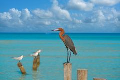 Egretta rufescens or Reddish Egret heron bird. In Caribbean sea stock photo