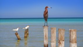 Egretta rufescens or Reddish Egret heron bird. In Caribbean sea Mexico Quintana Roo in Mayan Riviera stock footage