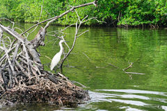 Egretta sul lago Immagini Stock