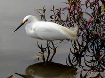 Egretta thula auf dem See Stockfotografie
