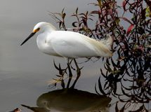 Egretta thula on the lake Stock Photography