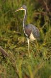 egretta tricolor czapli tricolored Obraz Stock