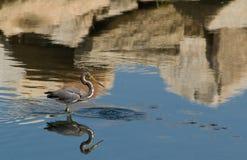 egretta tricolor czapli tricolored Obrazy Stock