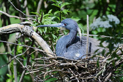 Egretta tricolored, louisiana heron Stock Photography