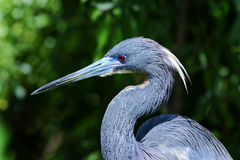 Egretta tricolored, louisiana heron Royalty Free Stock Photography