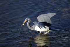 Egretta tricolored, tricolored heron Royalty Free Stock Images