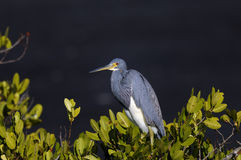 Egretta tricolored, tricolored heron Stock Photos