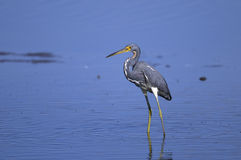 Egretta tricolored, tricolored heron Stock Photo