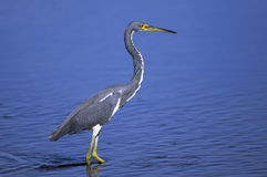 Egretta tricolored, tricolored heron Royalty Free Stock Photography