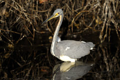 Egretta tricolored, tricolored heron Royalty Free Stock Image