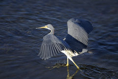 Egretta tricolored, tricolored heron Royalty Free Stock Photo