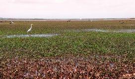 Egretta - uccello dell'airone nel paesaggio verde di Talay Noi, resevoir della zona umida di Ramsar del lago Songkhla in Phatthal immagini stock