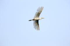 Egretta in volo Immagini Stock Libere da Diritti