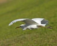 Egretta in volo Immagine Stock Libera da Diritti
