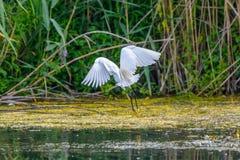 Egrettagarzetta die vissen, in de Delta van Donau, Ornithologie Stock Afbeelding