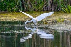 Egrettagarzetta die vissen, in de Delta van Donau, Ornithologie Stock Afbeeldingen