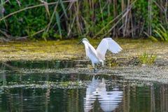 Egrettagarzetta die vissen, in de Delta van Donau, Ornithologie Royalty-vrije Stock Fotografie