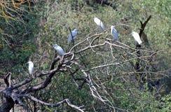 Egrette Fotografia Stock Libera da Diritti