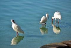 Egrette in acqua bassa Immagini Stock Libere da Diritti