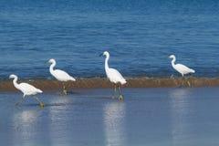 Egrette di Snowy che passeggiano lungo il litorale Fotografia Stock