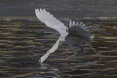 Egrette ed aironi fotografie stock libere da diritti