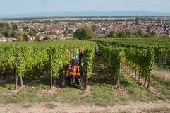 Harvest in alsatian vineyard with tractor Royalty Free Stock Photo