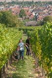 People for harvest in alsatian vineyard Stock Images
