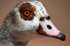 Egypian goose portrait stock photo