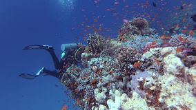 Egypt, Abu Dabb - March 16, 2019: Static video, divers and coral reef in the Red Sea, Abu Dubb. Beautiful underwater landscape with tropical fish and corals stock video footage