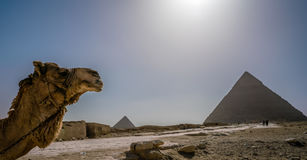 Egypt Cairo pyramids camel desert Stock Photo