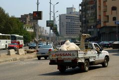 EGYPT, CAIRO - SEPTEMBER 19, 2010: a white camel is driven in a truck royalty free stock photography