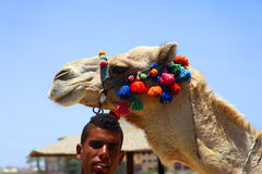 Egypt camel decorated. Stock Photography