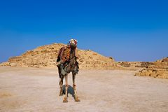 Egypt camel wearing colorful saddle Royalty Free Stock Photos