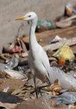 Egypt egret bird on sity dump Stock Images