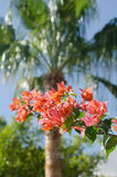 Egypt, exotic plants. Egypt, blossoming branch of a tree Horse (chorsu Stock Photos