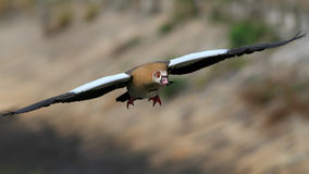 Egypt goose in flight Stock Photography