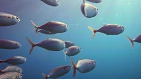 egypt matande mackerel rött görat randig skolahav stock video